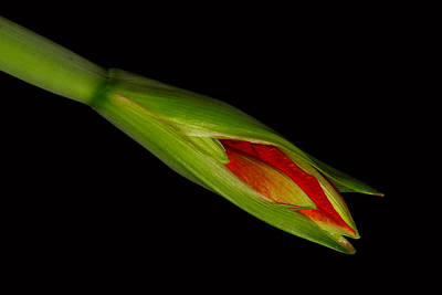 Flower Photograph - Orange Amaryllis Hippeastrum Starting To Bloom by James BO  Insogna