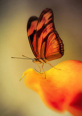 Orange And Black Butterfly Sitting On The Yellow Petal Print by Jaroslaw Blaminsky