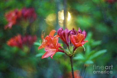 Dahlia Photograph - Orange Azaleas Sunspot by Mike Reid