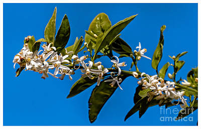 Orange  Blossoms Print by Robert Bales
