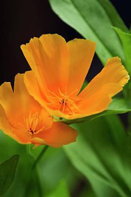 Orange California Poppies Print by Christina Rollo
