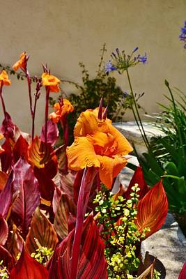 Orange Canna Lilies  Print by Linda Brody