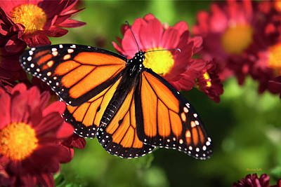 Orange Drift Monarch Butterfly Print by Christina Rollo