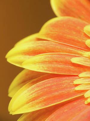 Gerber Daisy Photograph - Orange Gerbera by Wim Lanclus