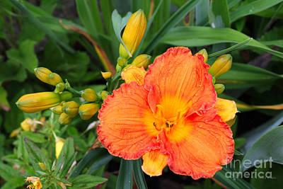 Orange Gladiola Flower And Buds Print by Corey Ford