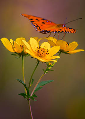 Butterfly In Flight Photograph - Orange On Yellow by Parker Cunningham