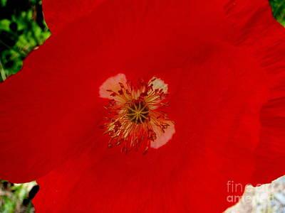Orange Poppy In Full Bloom Print by Mary Deal