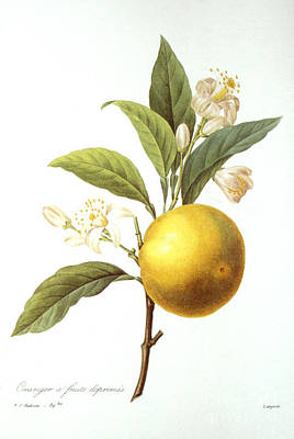 Orange Tree Print by Granger