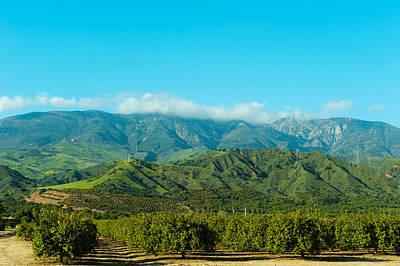 Ventura Photograph - Orange Tree Grove, Santa Paula, Ventura by Panoramic Images