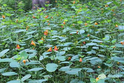Missouri Orange Wildflower, Jewel Weed, Imaptiens Capensis Print by Adam Long