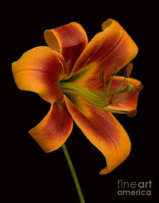 Day Lilly Photograph - Orange Wonder by Robert Pilkington