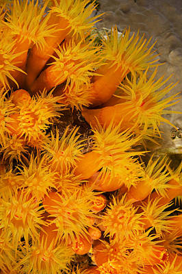 Undersea Photograph - Orangecup Coral by Dave Fleetham - Printscapes