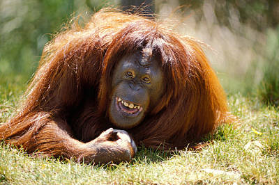 Ape Photograph - Orangutan In The Grass by Garry Gay