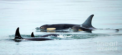 Orca Family Photo Print by Mike Dawson