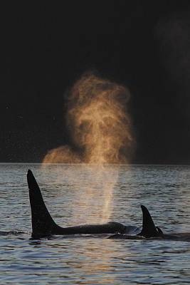 Orcas Ocinus Orca Spouting Alaska Print by Hiroya Minakuchi