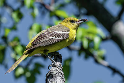 Wild Orchards Photograph - Orchard Oriole With Insect by Morris Finkelstein