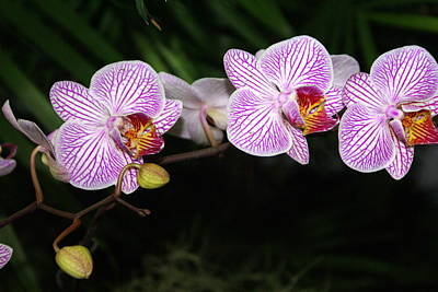 Orchid 2 Print by Marty Koch