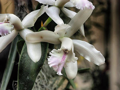 Orchid Cattleya Intermedia Print by C H Apperson