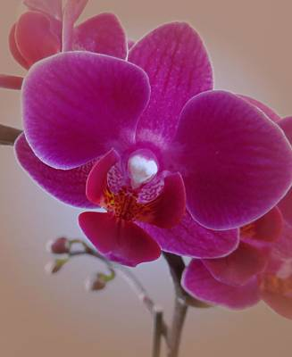 Photograph - Orchid by Patricia Urato