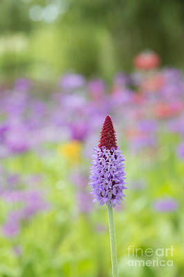 Orchid Primrose Flower Print by Tim Gainey