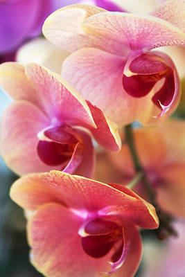 Orchid Digital Art - Orchid Trio by Jessica Jenney