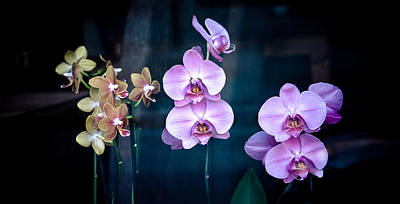 Moth Orchid Photograph - Orchidae by Maggie Terlecki