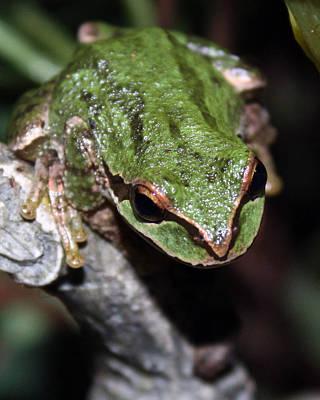 Oregon Tree Frog Print by Nick Gustafson