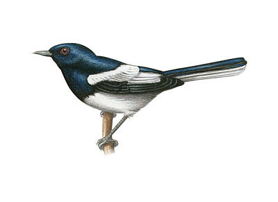Magpies Drawing - Oriental Magpie-robin by Lionel Portier
