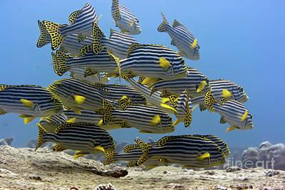 Undersea Photograph - Oriental Sweetlips by MotHaiBaPhoto Prints