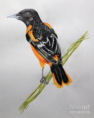 Orioles Drawing - Oriole by Jamie Silker