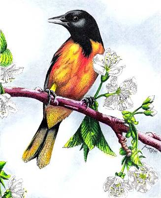 Orioles Drawing - Oriole by Scarlett Royal