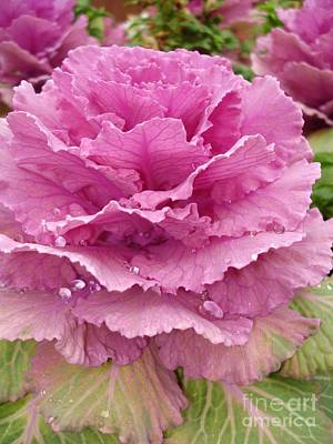 Raindrops On Flowers Photograph - Ornamental Cabbage by Carol Groenen