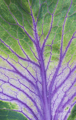 Brassica Oleracea Photograph - Ornamental Cabbage Leaf by Tim Gainey