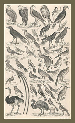 Crows Drawing - Ornithology by Captn Brown