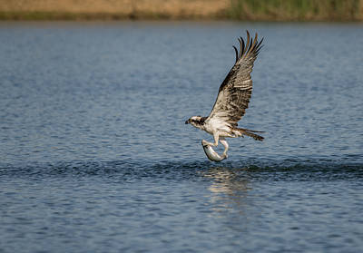Wild Trout Photograph - Osprey Catching A Fish by Loree Johnson
