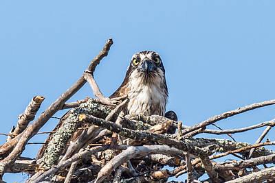 Osprey Photograph - Osprey Eyes by Paul Freidlund
