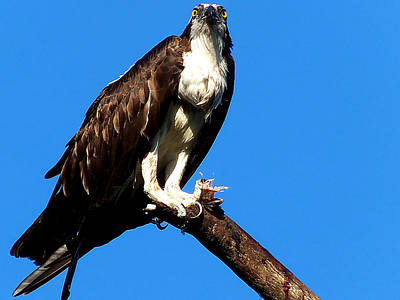 Animal Photograph - Osprey Feeding 005 by Chris Mercer