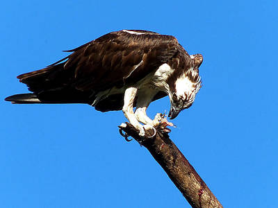 Osprey Photograph - Osprey Feeding 008 by Chris Mercer