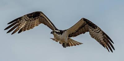 Osprey Photograph - Osprey Flying by Paul Freidlund