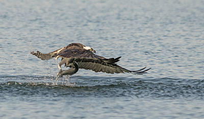 Wild Trout Photograph - Osprey In Action by Loree Johnson
