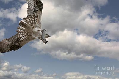 Gallatin River Photograph - Osprey In Flight by Wildlife Fine Art