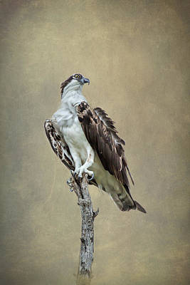 Tide Photograph - Osprey Perched 3 By Darrell Hutto by J Darrell Hutto