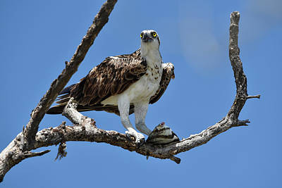 Osprey Photograph - Osprey Perched With A Fish by Artful Imagery