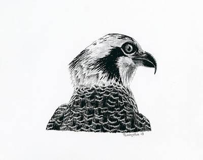 Osprey Drawing - Osprey Portrait by Timothy Livingston