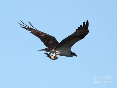 Osprey Photograph - Osprey With Fish by Carol Groenen