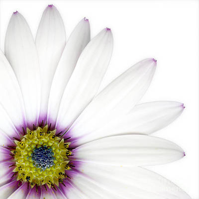 White Flower Photograph - Osteospernum by Janet Burdon