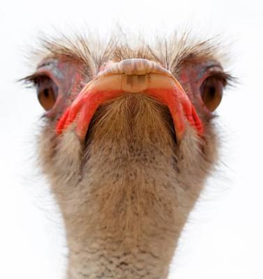 Ostrich Scrutiny Original by Mike Stratton