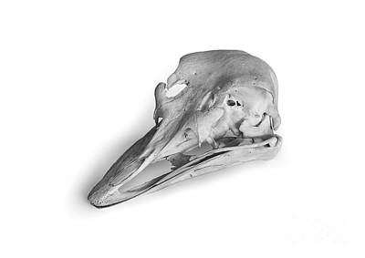 Ostrich Skull Original by Simon Joubert
