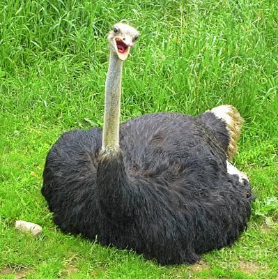 Ostrich Yelling  Original by Crystal Loppie