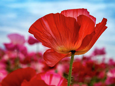 Outstanding Poppy Print by Jean Noren